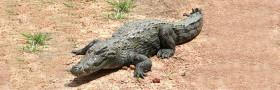 crocodil-1